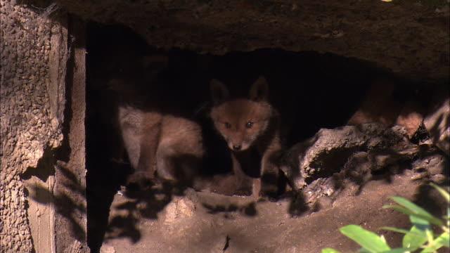 Red fox (Vulpes vulpes) pups in den in garden, Glasgow, Scotland
