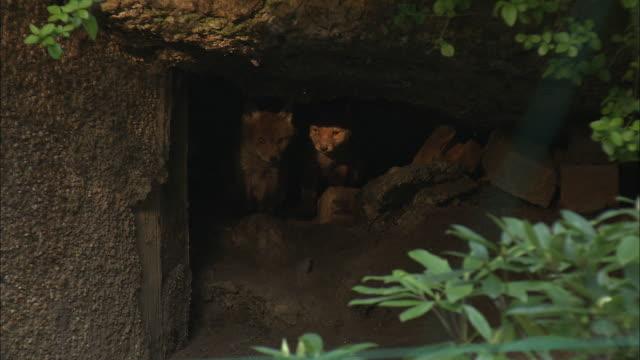 Red fox (Vulpes vulpes) pups leave den in garden, Glasgow, Scotland