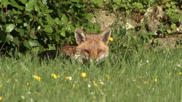 red fox ruhen - surrey england stock-videos und b-roll-filmmaterial