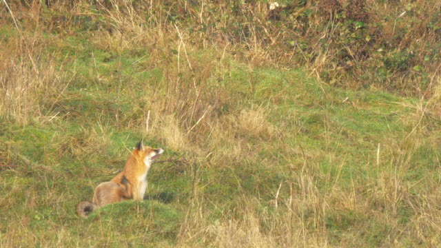 red fox (vulpes vulpes) scratching with its paw an walking away, sussex - animal body part stock videos & royalty-free footage