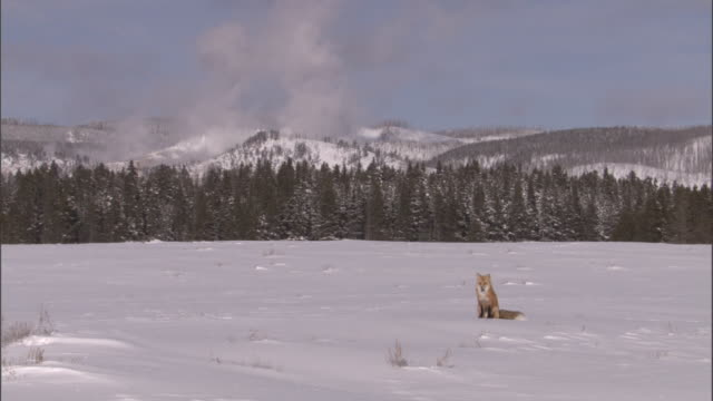 red fox (vulpes vulpes) sits on snow, yellowstone, usa - yellowstone national park stock videos & royalty-free footage