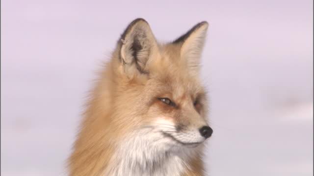 Red fox (Vulpes vulpes) sits on snow, Yellowstone, USA