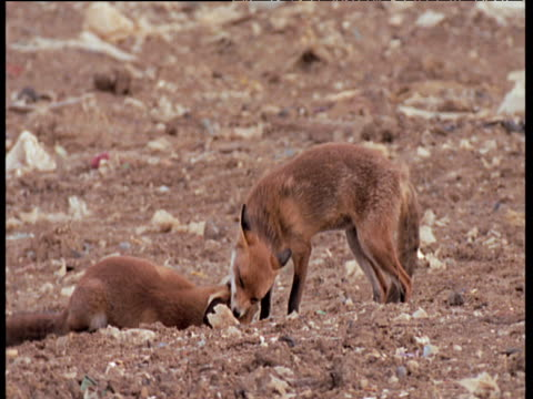 Red fox snarls and runs towards another to play fight, grabs neck in jaws, tackles to ground and then runs away