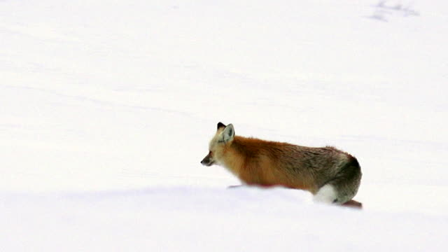 red fox trotting left in snow, yellowstone national park, winter - fox stock videos and b-roll footage