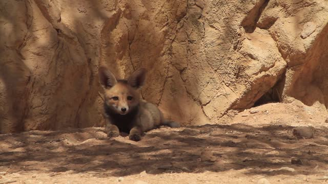 red fox - ネゲブ点の映像素材/bロール