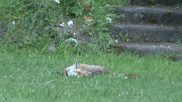red fox - surrey england stock-videos und b-roll-filmmaterial