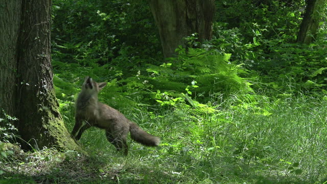 """red fox, vulpes vulpes, adult hunting bird, normandy, real time"" - bird hunting stock videos & royalty-free footage"