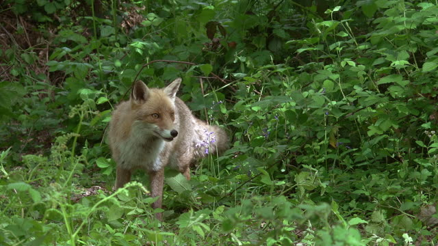 red fox, vulpes vulpes, adult leaping, normandy, real time - fox stock videos and b-roll footage