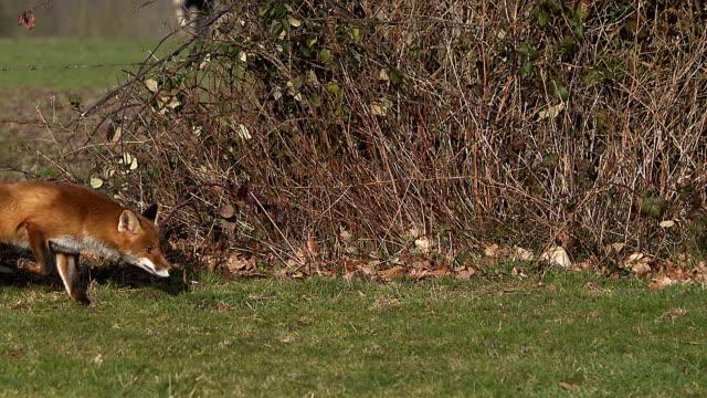 Red Fox, Vulpes vulpes, Adult running on Grass, Slow motion.