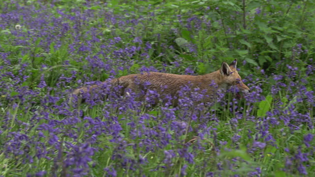 red fox, vulpes vulpes, adult running through flowers, normandy in france, slow motion - fox stock videos and b-roll footage