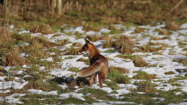 Red Fox, vulpes vulpes, Adult standing on Snow, Looking around and Walking Away, Real Time
