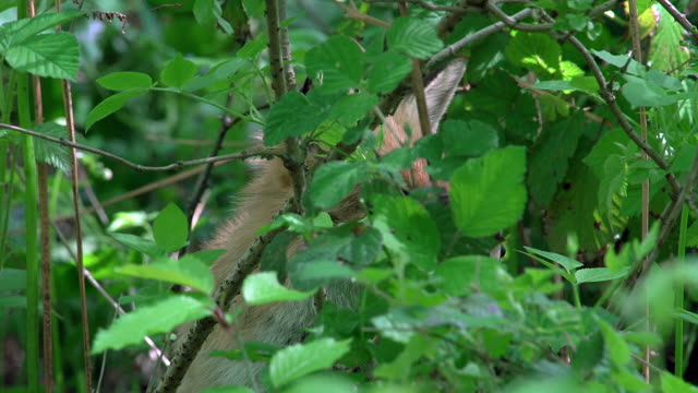 red fox, vulpes vulpes, camouflaged adult, normandy, real time - fox stock videos and b-roll footage