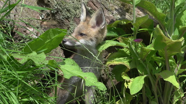 Red Fox, vulpes vulpes, Cub standing in Den Entrance, Normandy, Real Time