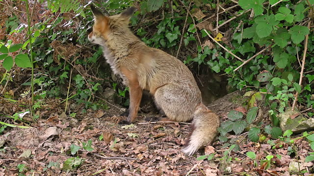 ms red fox, vulpes vulpes female standing at den entrance / calvados, normandy, france - calvados stock videos and b-roll footage