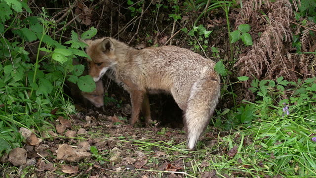ms red fox, vulpes vulpes mother and cub standing at den entrance / calvados, normandy, france - calvados stock videos and b-roll footage