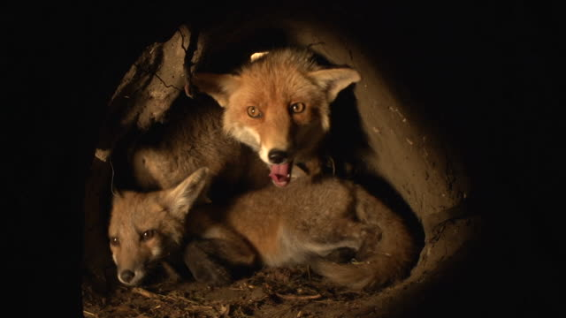 """red fox, vulpes vulpes, mother and cub standing in den, normandy, real time"" - däggdjur bildbanksvideor och videomaterial från bakom kulisserna"
