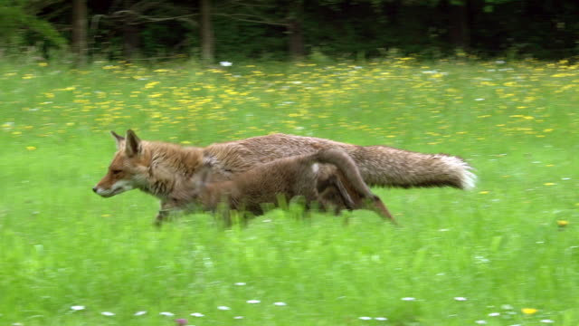 red fox, vulpes vulpes, mother and cub walking to den entrance, normandy, real time - fox stock videos and b-roll footage