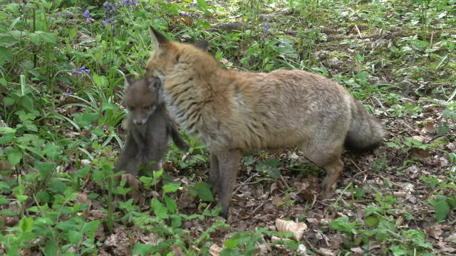 vidéos et rushes de red fox, vulpes vulpes, mother carrying cub, normandy, real time - normandie