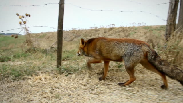 red fox walking and hiding video - fence stock videos and b-roll footage