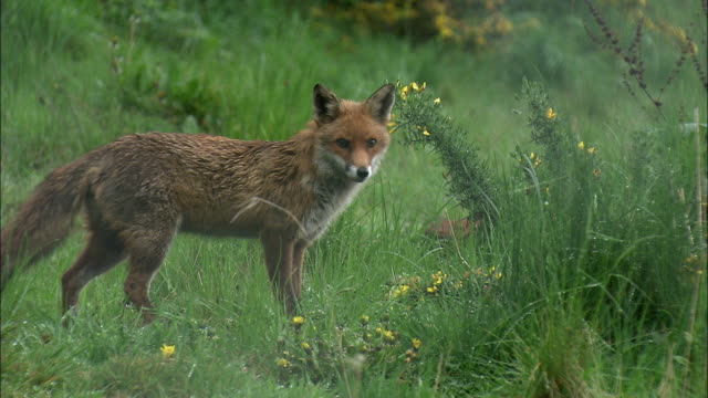 vídeos de stock e filmes b-roll de red fox (vulpes vulpes) walks away, glasgow, scotland - glasgow escócia