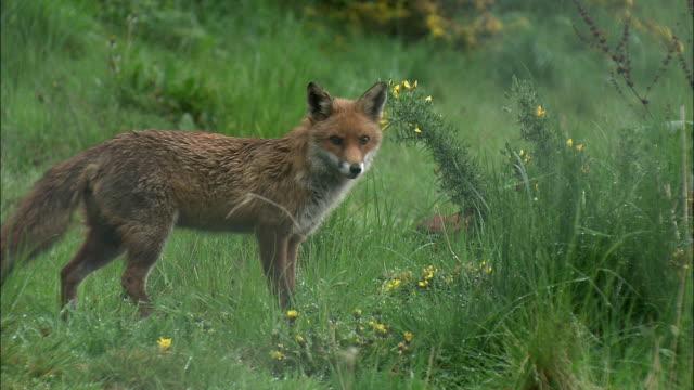 red fox (vulpes vulpes) walks away, glasgow, scotland - alertness stock videos & royalty-free footage