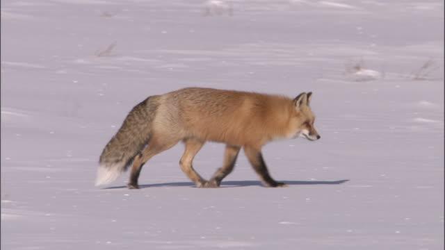red fox (vulpes vulpes) walks on snow, yellowstone, usa - yellowstone national park stock videos & royalty-free footage