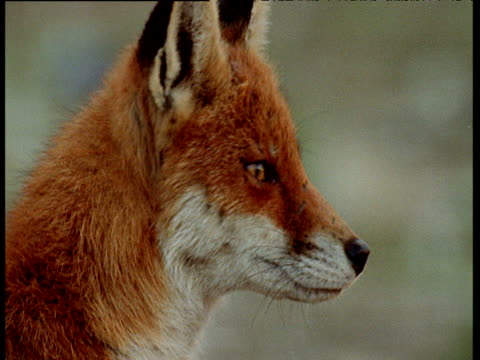 red fox with white and red fur looking around - squiggle stock videos & royalty-free footage