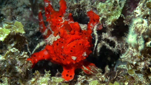 red frogfish under water in philippines - batangas province stock videos and b-roll footage