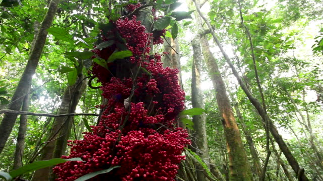 red fruits on rainforest undergrowth, low wide view - village stock videos & royalty-free footage