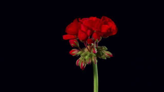 t/l, cu, red geranium flowers opening and wilting against black background - bud stock videos & royalty-free footage