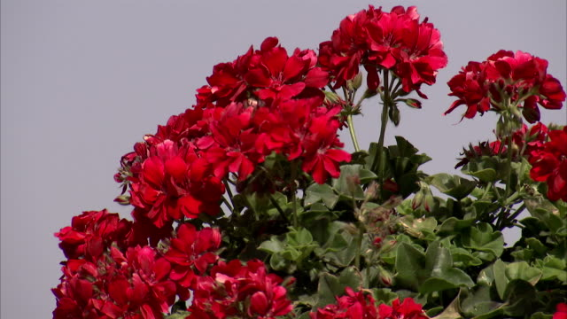 red geraniums bloom in the bahai terraced gardens. available in hd - ゼラニウム点の映像素材/bロール