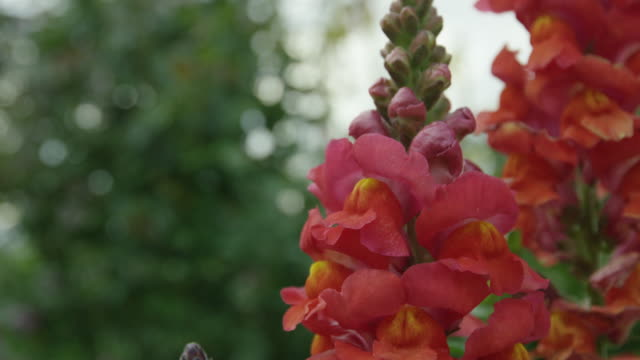 red gladiola flowers - gladiolus stock videos & royalty-free footage