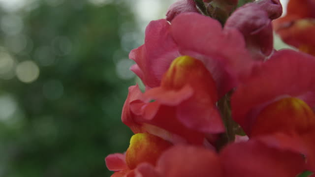 red gladiola petals - gladiolus stock-videos und b-roll-filmmaterial