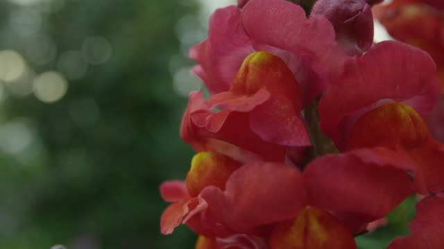 red gladiola petals - gladiolus stock videos & royalty-free footage