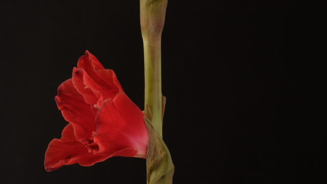 red gladiolus flower closing as it rotates to camera, black background, timelapse reversed. - gladiolus stock videos & royalty-free footage