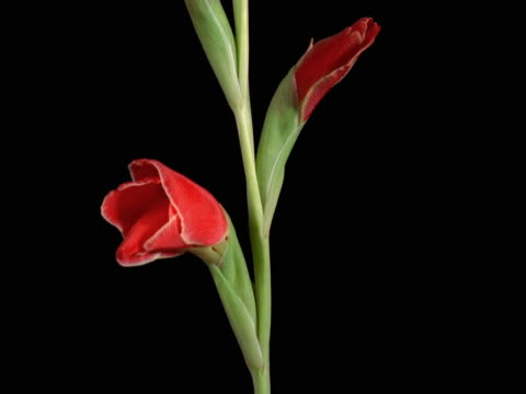 red gladiolus with white tips - gladiolus stock videos & royalty-free footage