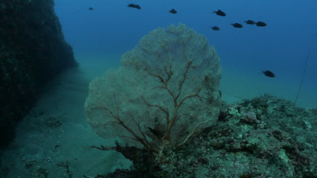 red gorgonian sea fan coral at deep sea reef, taiwan - philippine sea stock videos & royalty-free footage