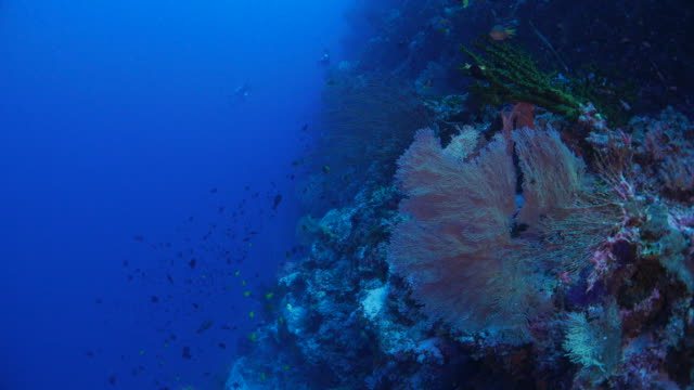 red gorgonian sea fan coral at deep - gorgonian coral stock videos & royalty-free footage