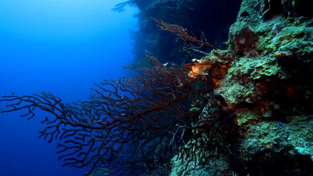 red gorgonian sea fan coral iciligorgia schrammi - gorgonian coral stock videos & royalty-free footage