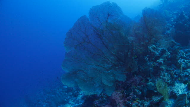 red gorgonian sea fan coral in the reef, indonesia - gorgonian coral stock videos & royalty-free footage