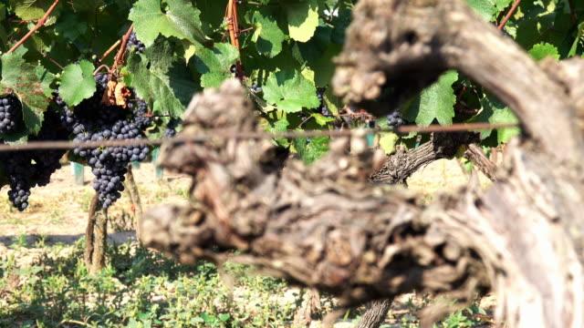 Red Grape In Vineyard