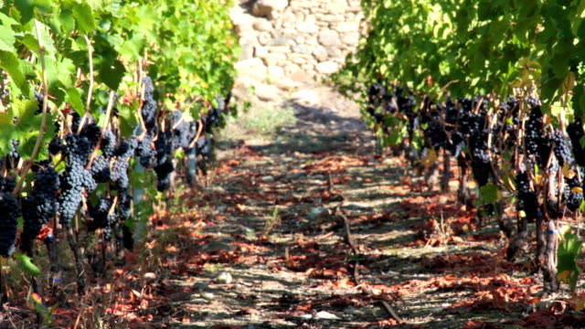 dolly hd: red grape vineyard. - red grape stock videos & royalty-free footage