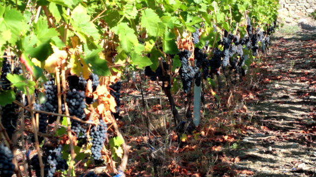 dlly hd: red grape vineyard. - red grape stock videos & royalty-free footage