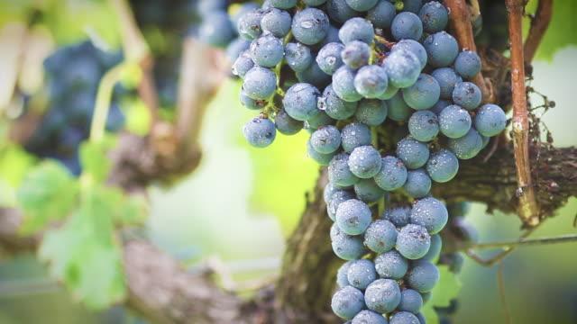 vídeos y material grabado en eventos de stock de uvas rojas en el viñedo - uva cabernet sauvignon