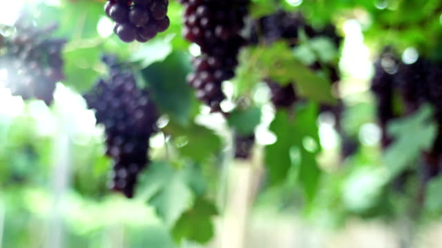 vídeos de stock e filmes b-roll de tu:red grapes in vineyard - ramo parte de uma planta
