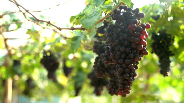 Red grapes In Vineyard