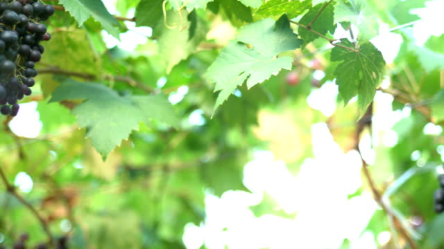 vídeos de stock e filmes b-roll de pan:red grapes in vineyard - ramo parte de uma planta