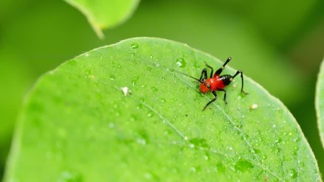 Red grasshopper on green leaf.