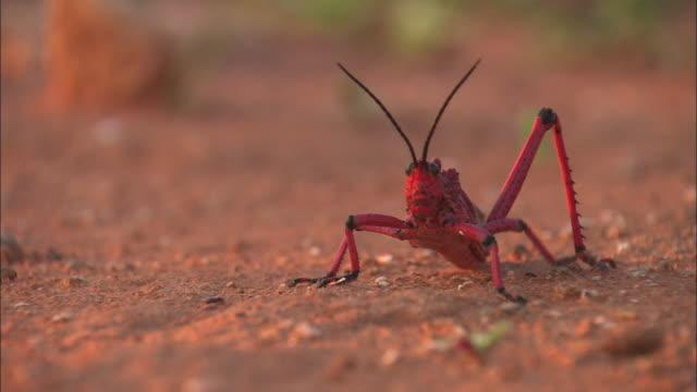 CU, FOCUSING, Red grasshopper walking across dirt in desert, South Africa