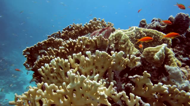 stockvideo's en b-roll-footage met red grouper comes from fire corals - supersensorisch